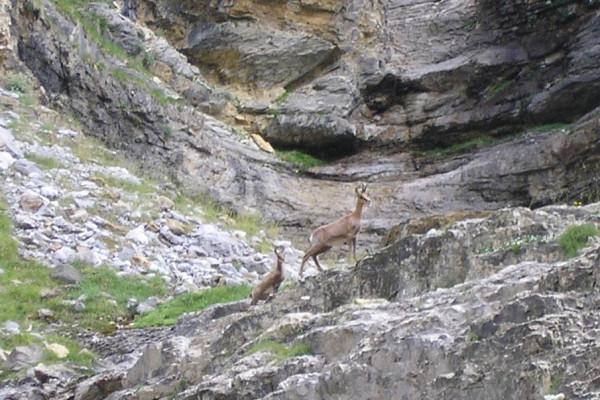 Isards vautours marmottes la faune des pyrénées