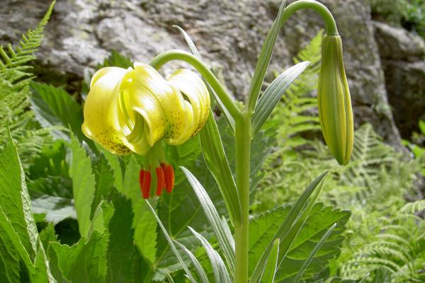 Flore des pyrénées lors des rando