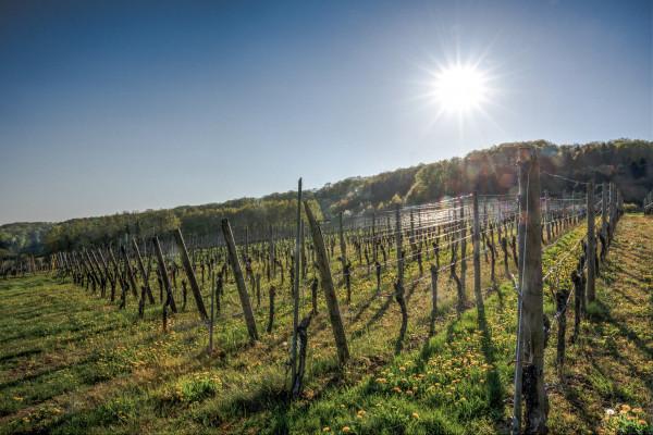 Frühling im Weinberg (auf Anfrage)