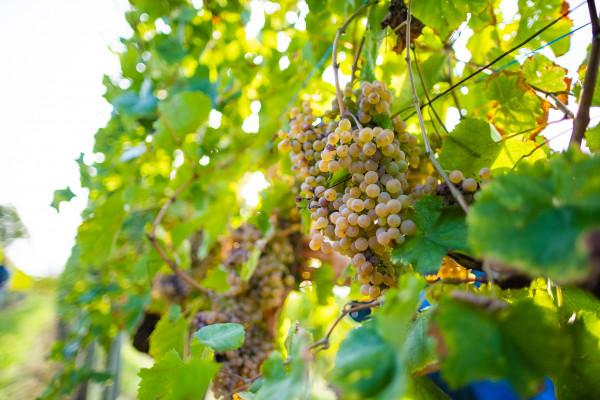 Vignobles du Jurançon et du Madiran