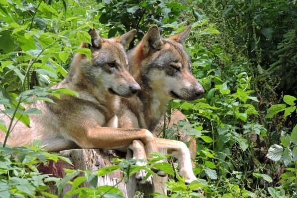 Parcs des Loups - Parc Alpha
