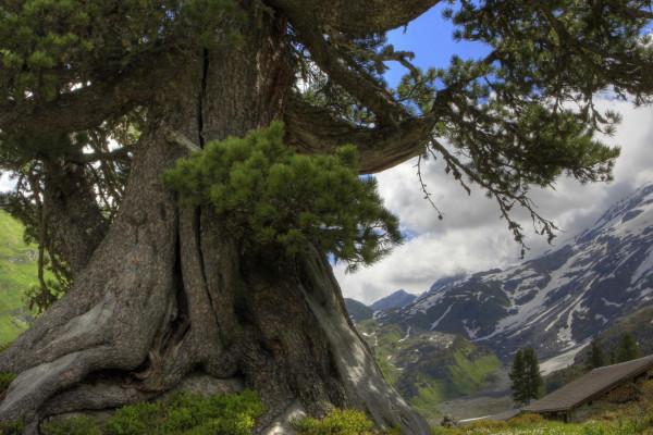 uralter Geschichtenbaum