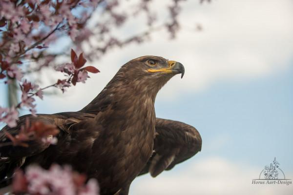 Steppenadler Wotan wird uns frei fliegend durch den Naturpark begleiten.