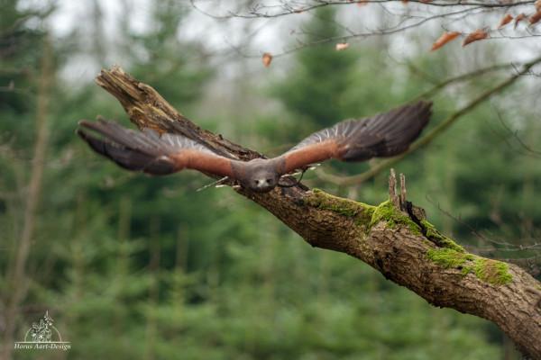 Frei fliegender Harris Hawk zur eigenen Handhabung