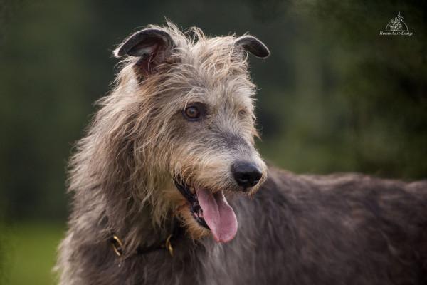 Irischer Wolfshund Bruce Almighty of the Greenlands