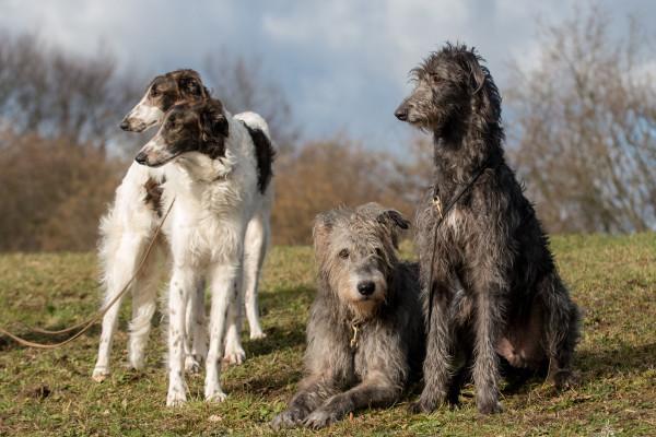 Die Hunde der Könige