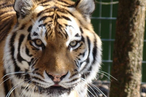 Tiger im Filmtier-Park Eschede