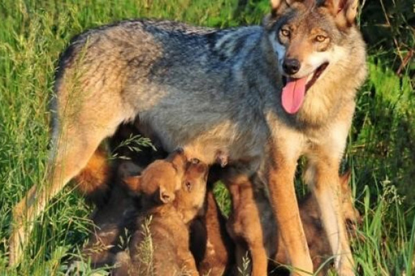 Wolfmutter und Welpen