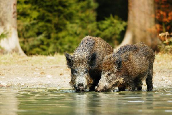 An der Wildschweinsuhle