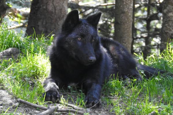 Le Parc Alpha des Loups - le loup Fenrir